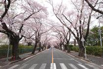 ふくしま浜街道 桜プロジェクト